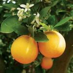 Грейпфрут (Citrus paradisi)*