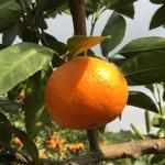 Мандарин (Citrus reticulata)*