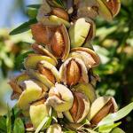 Миндаль горький (Prunus dulcis var. amara)*
